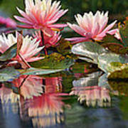 Water Lily Profusion Poster