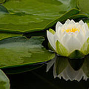 Water Lily Reflection II Poster