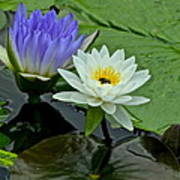 Water Lily Serenity Poster