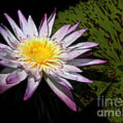 Water Lily With Lots Of Petals Poster