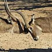 Waterbuck Fight Poster