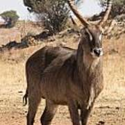 Waterbuck Male V2 Poster