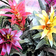 Watercolor And Ink Sketch Of Colorful Bromeliads Poster