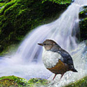 Waterfall And Ouzel European Dipper Poster