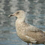 Waterfront Seagull  Poster