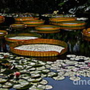 Waterlilies All Poster