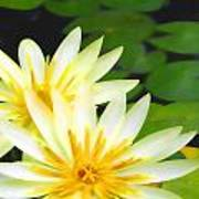 Waterlilies In Pond Poster