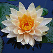 Waterlily After A Shower Poster