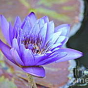Waterlily And Bee Poster