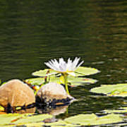 Waterlily And Coconuts Poster