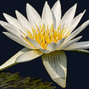 Waterlily And Pad Poster by Susan Candelario