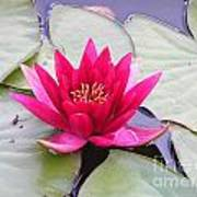 Waterlily In A Pond Poster