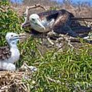 Waved Albatross  And Young Poster