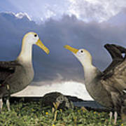 Waved Albatross Courtship Dance Poster
