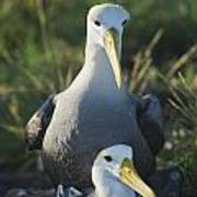 Waved Albatross Mate In Galapagos Poster