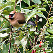 Waxwing Meal Poster