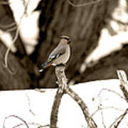 Waxwing Perched Poster