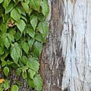 Weathered Tree Trunk With Vines Poster