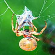 Weaving Orb Spider Poster