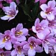 Weigela Blossoms Poster
