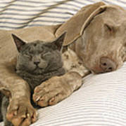 Weimaraner Asleep With Cat Poster