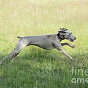 Weimaraner Dog Running Poster