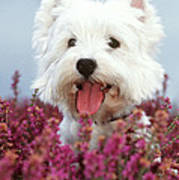 West Highland Terrier Dog In Heather Poster