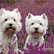 West Highland Terrier Dogs In Heather Poster