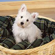 West Highland White Terrier Puppy Poster