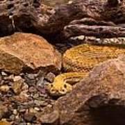 Western Diamondback Rattlesnake 2 Poster