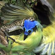 Western Diamondback Rattlesnake Striking Green Jay Poster