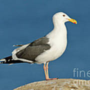 Western Gull Poster