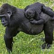 Western Lowland Gorilla 2 Poster