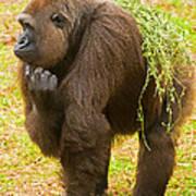 Western Lowland Gorilla Female Poster