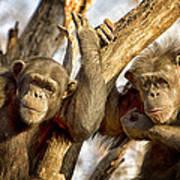 Western Lowland Gorillas Poster