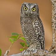 Western Screech Owl Juvenile Utah Poster