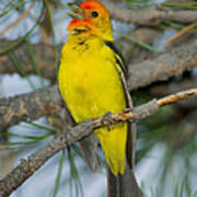 Western Tanager Singing Poster