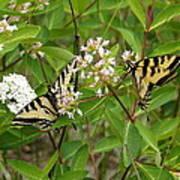 Western Tiger Swallowtail Butterflies Poster