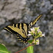 Western Tiger Swallowtail Butterfly 2 Poster