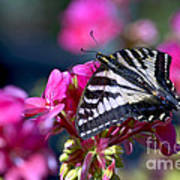 Western Tiger Swallowtail Butterfly On Geranium Poster