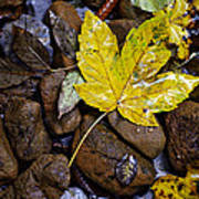 Wet Autumn Leaf On Stones Poster