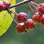 Wet Crab Apples Poster
