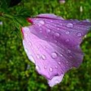 Wet Rose Of Sharon 2 Poster