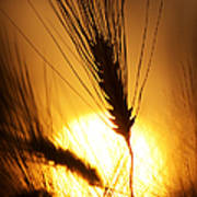 Wheat At Sunset Silhouette Poster