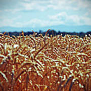 Wheat Reeds Poster