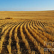 Wheat Rows Poster