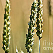 Wheat Stalks Poster