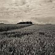 Wheatfields Poster