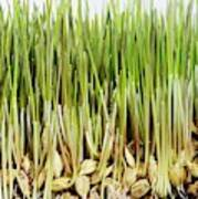 Wheatgrass Seedling Poster