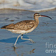 Whimbrel Running Poster